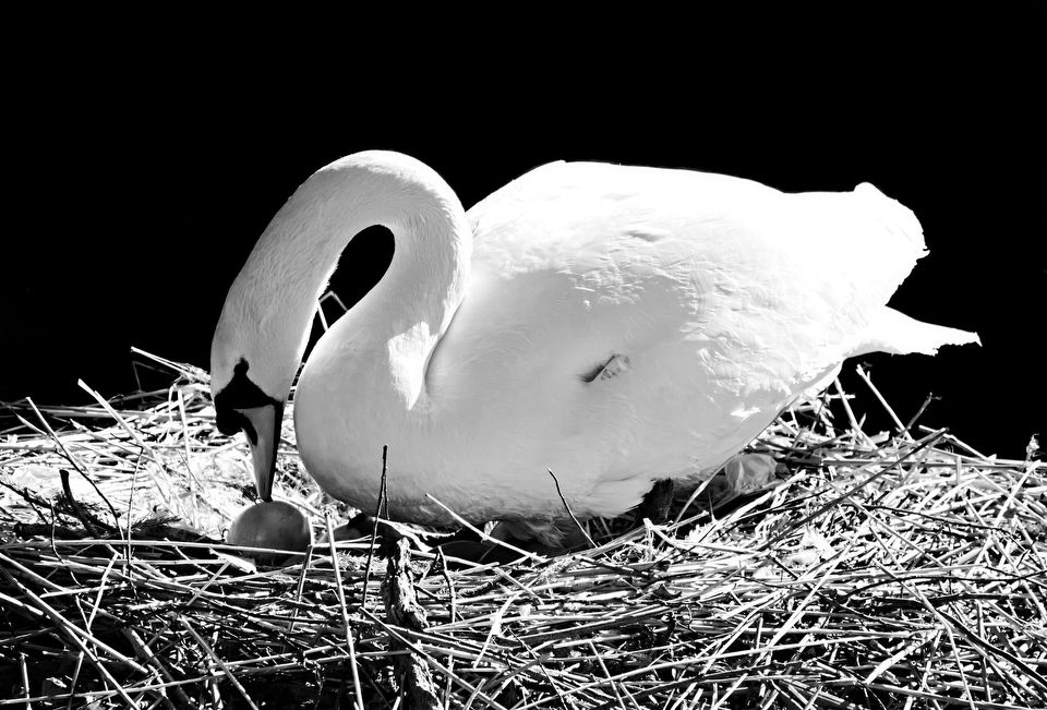 Mother Swan and her Egg