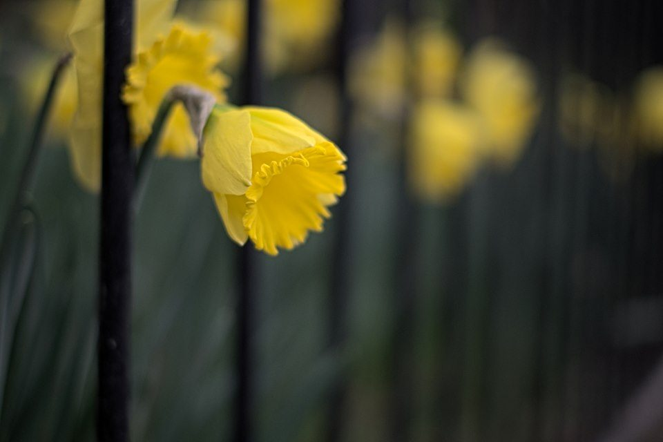 Daffodil peaking out from fence