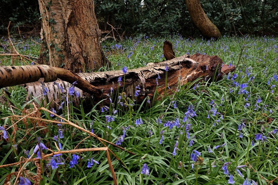 Bluebells in Emsworth